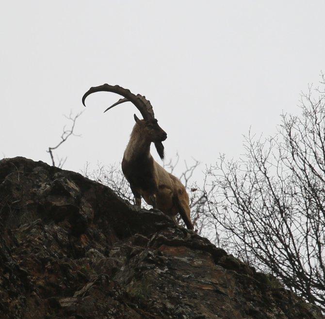AK Parti Tunceli İl Başkanı, Tunceli'de dağ keçisi av ihalelerinin iptal edildiğini duyurdu
