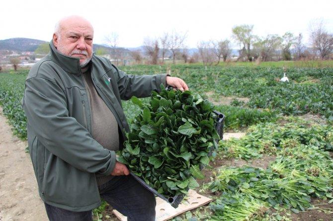 Ispanaklarını satamayan çiftçi TMO tarafından alınarak halka dağıtılmasını istiyor