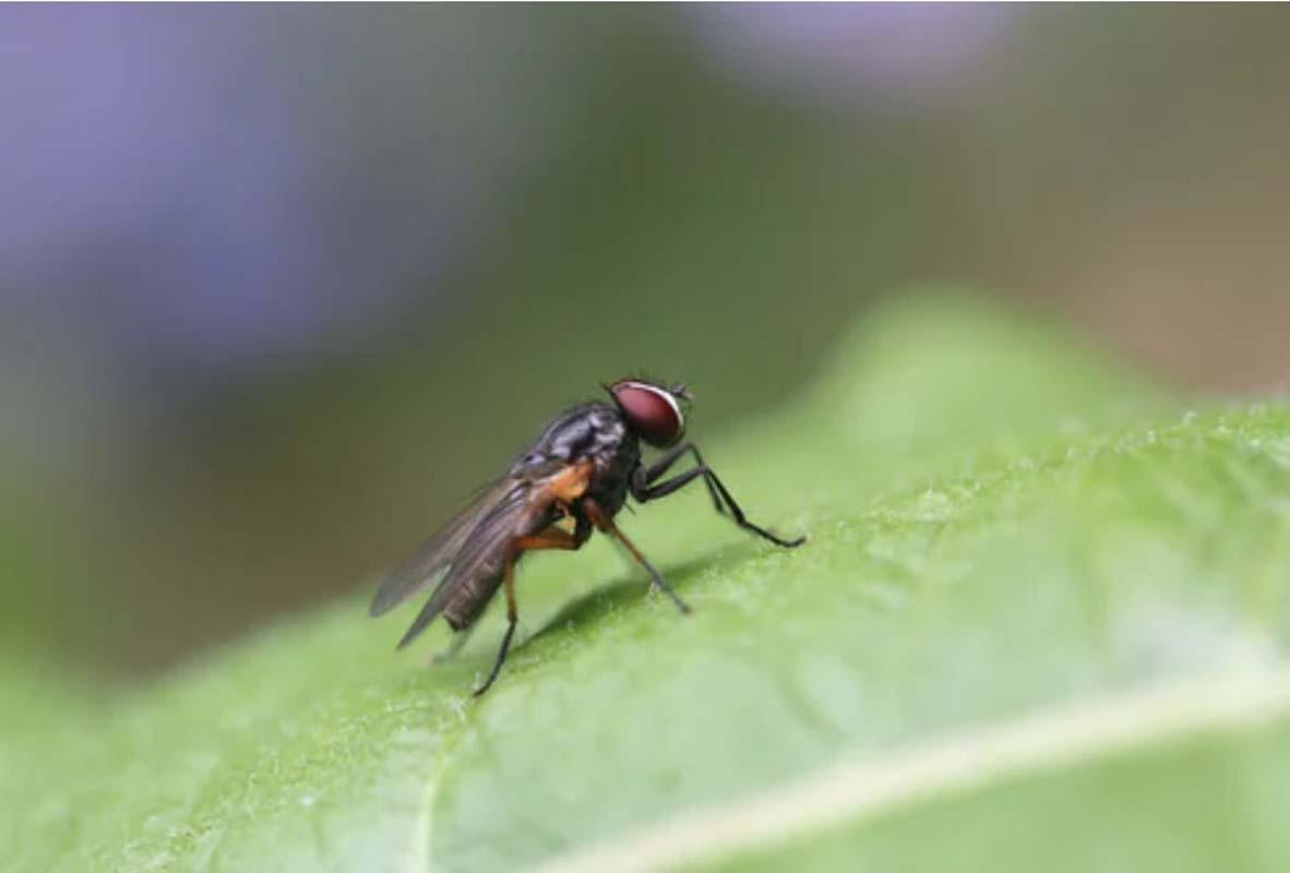 Havalar ısındı, sivrisinekler kendilerini gösterdi! Peki sivrisinekten Kovid-19 bulaşır mı?