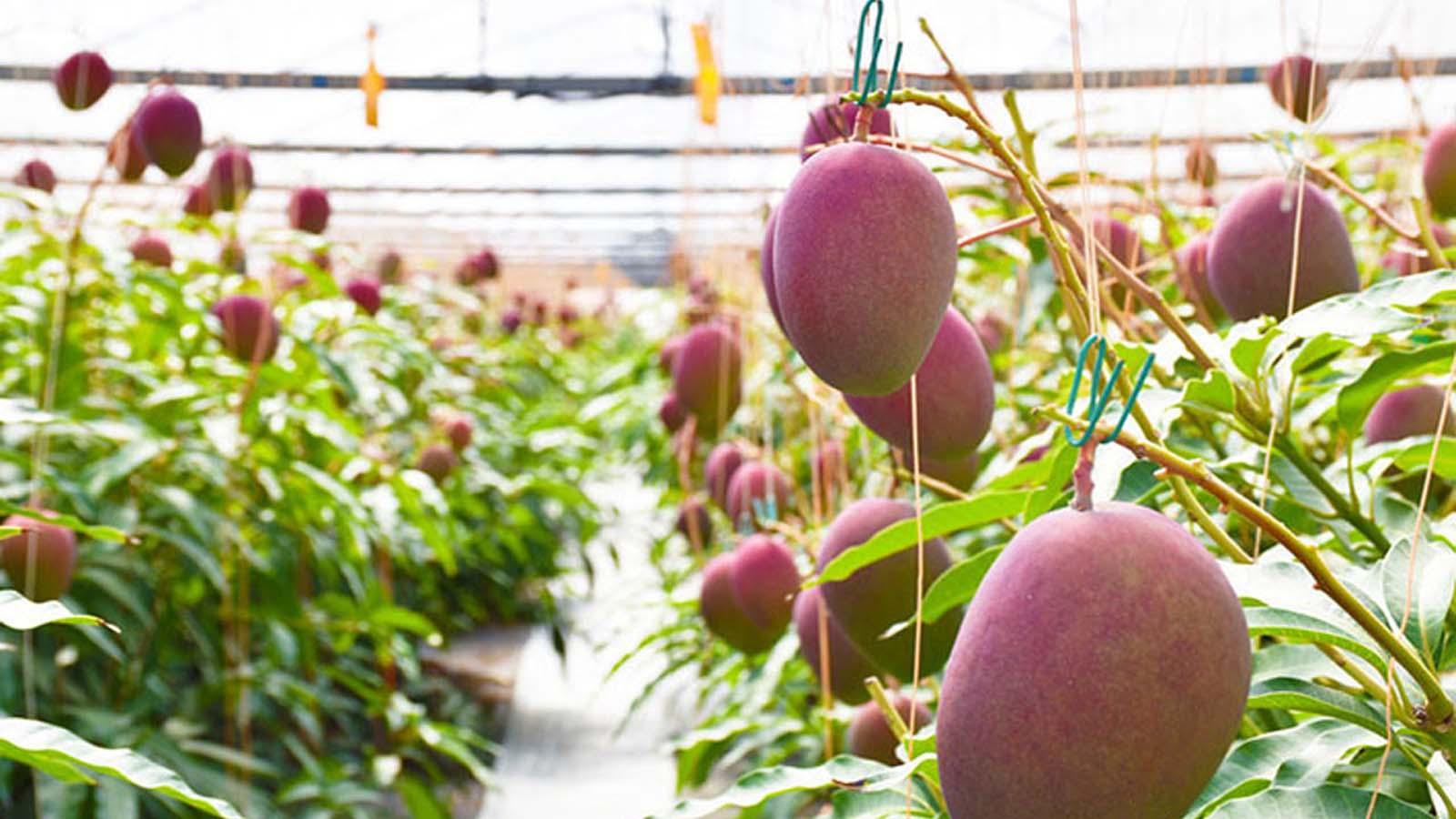 Tohum ektiler, milyarlar biçtiler! Bir çift yanlışlıkla dünyanın en pahalı mangolarından birini dikti. Değeri 31 bin lira!
