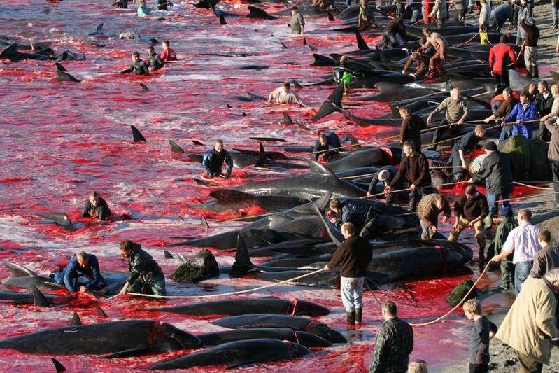 Festival değil, katliam! Binlerce balina katledildi, denizin üzeri kırmızıya büründü