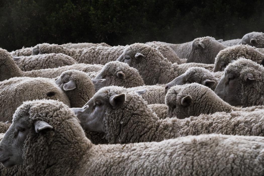 Koyunlar teker teker ölmeye başladı, çoban neye uğradığını şaşırdı: 164 koyun telef oldu