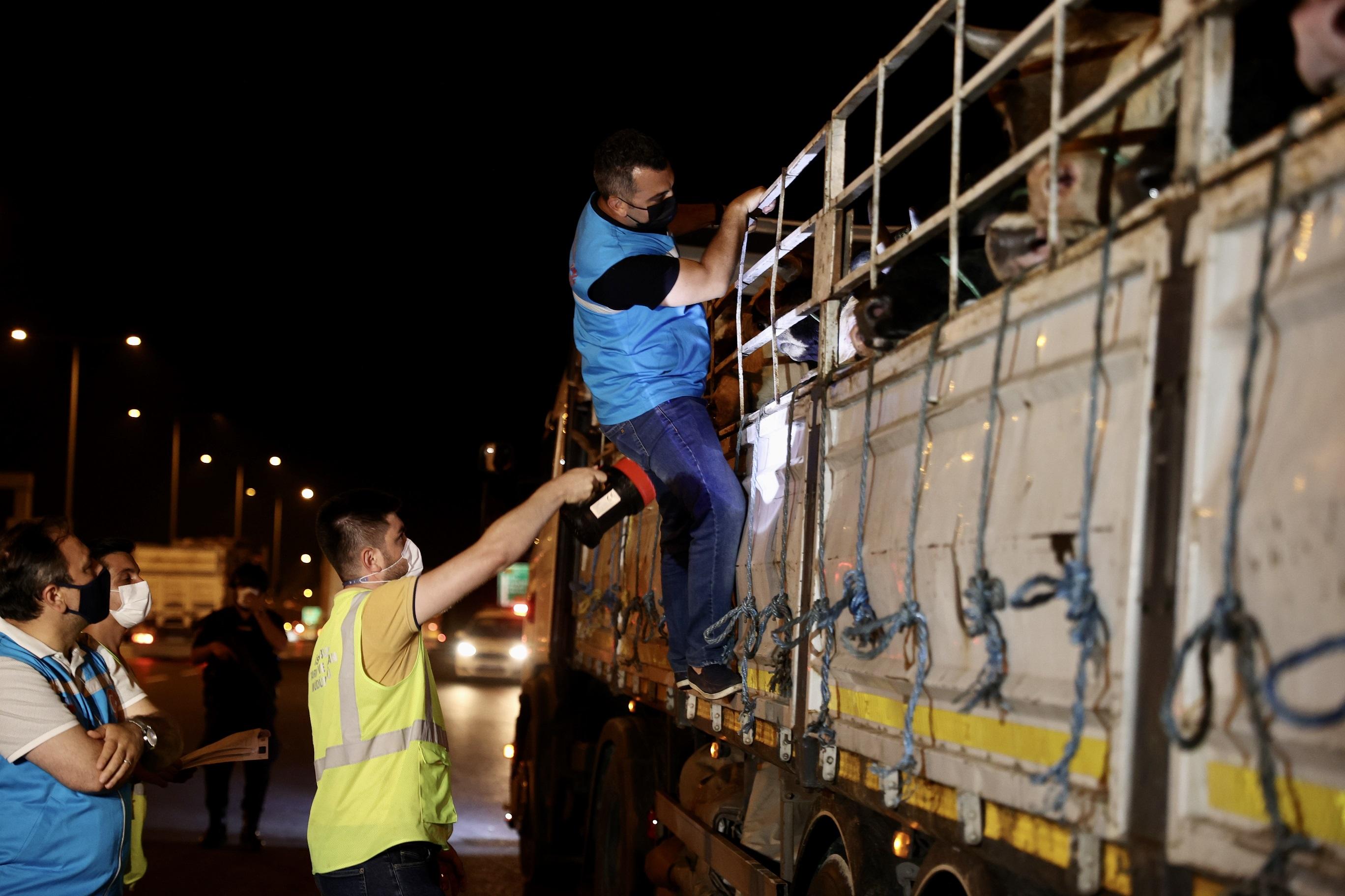 Bayrama sayılı günler kaldı! Kurbanlıklar İstanbula gelmeye başladı