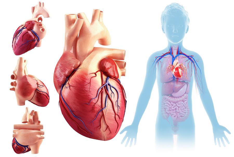 1-childs-heart-anatomy-pixologicstudioscience-photo-library.jpg
