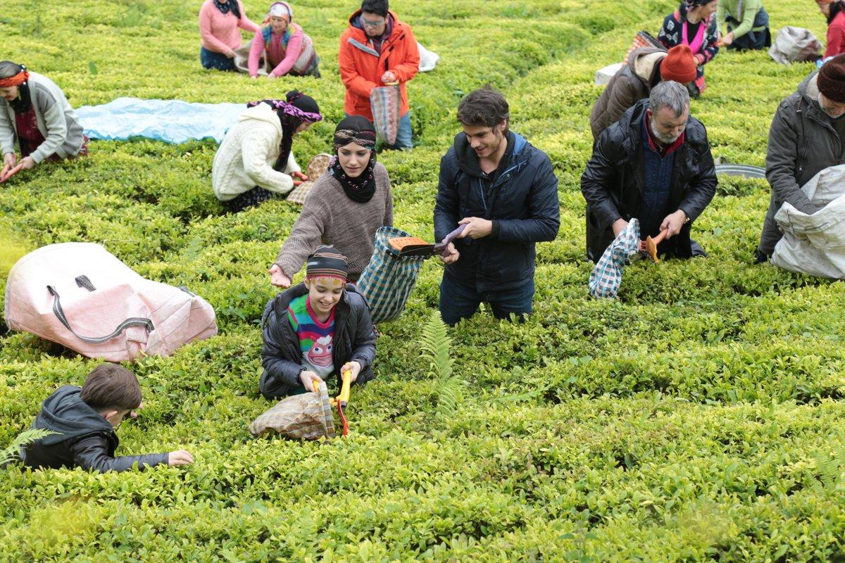 Çay budama paraları ne zaman ödenecek? 2021 Çay budama paraları ne zaman yatacak?