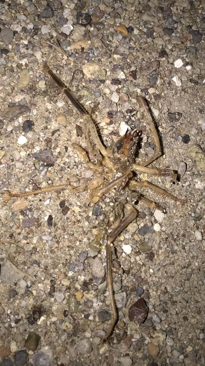 1 metre zıplayabiliyor, et parçalarını kolaylıkla koparıyor! Kayseri'de sarıkız örümceği paniği!