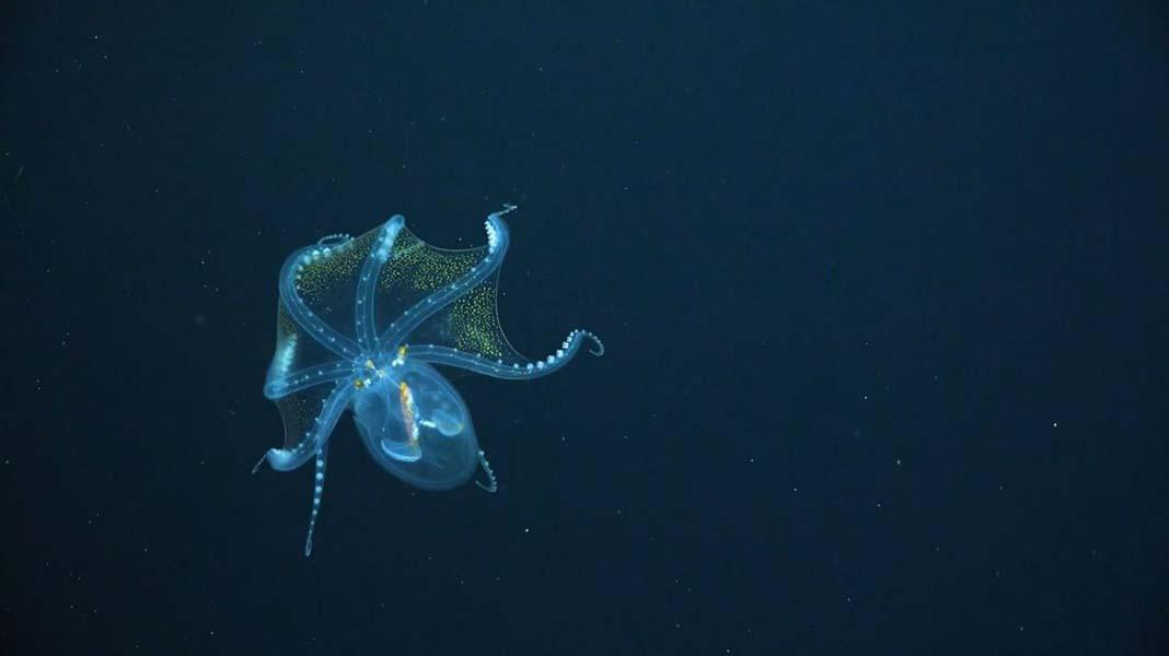 Cam Ahtapot görenleri kendine hayran bıraktı, okyanusun derinliklerinde görüntülendi!