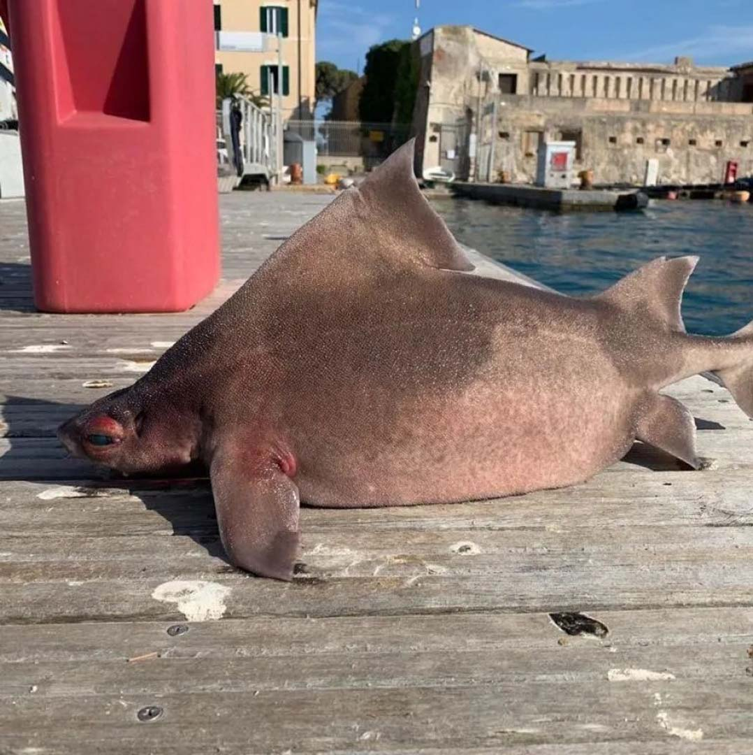 Akdeniz'de 'domuz gibi homurdanan' balık yakalandı!