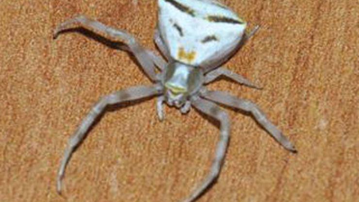 Osmaniye'de insan yüzlü örümcek bulundu!