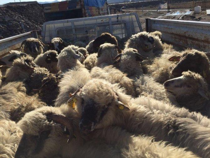 Sungurlu'da genç çiftçilere 210 koyun hibe edildi