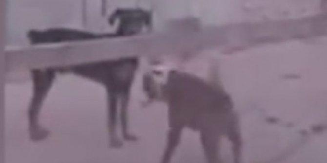 Köpeklerin kürekli kavgası çokça beğeni topladı!