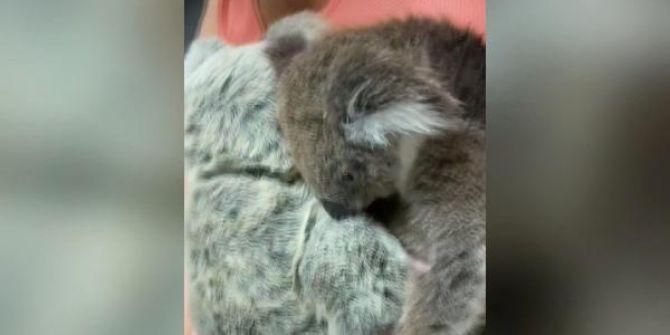 Yavru koaladan yürekleri sızlatan görüntü! Öyle bir sarıldı ki...