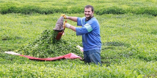 2020 yılı çay hasadı bugün başladı!