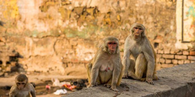 Hindistan'da şoke eden olay! Maymunlar korona hastalarının kan örneklerini çaldı